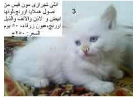 للبيع قطط شيرازى بيور