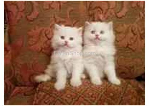 للبيع 2 قط شيرازى ذكر عمر 50 يوم
