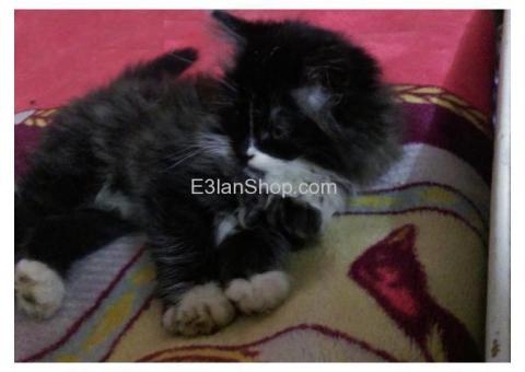 قطه شيرازي صغيره ٤٢ يوم